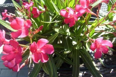 OLEANDER - Nerium oleander